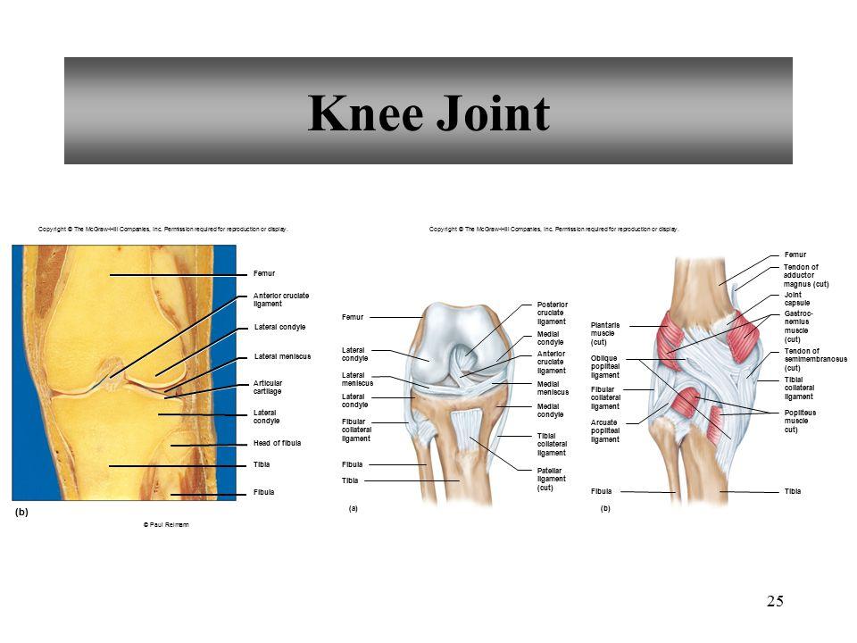 Knee Joint (b) Femur Tendon of adductor magnus (cut) Femur