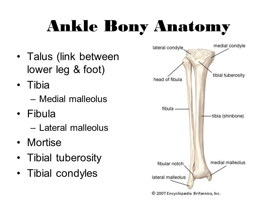 Ankle Bony Anatomy Talus (link between lower leg & foot) Tibia Fibula