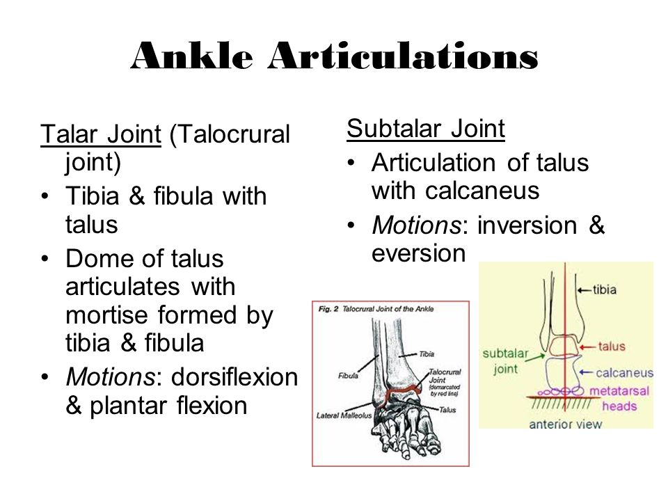 Ankle Articulations Subtalar Joint Talar Joint (Talocrural joint)