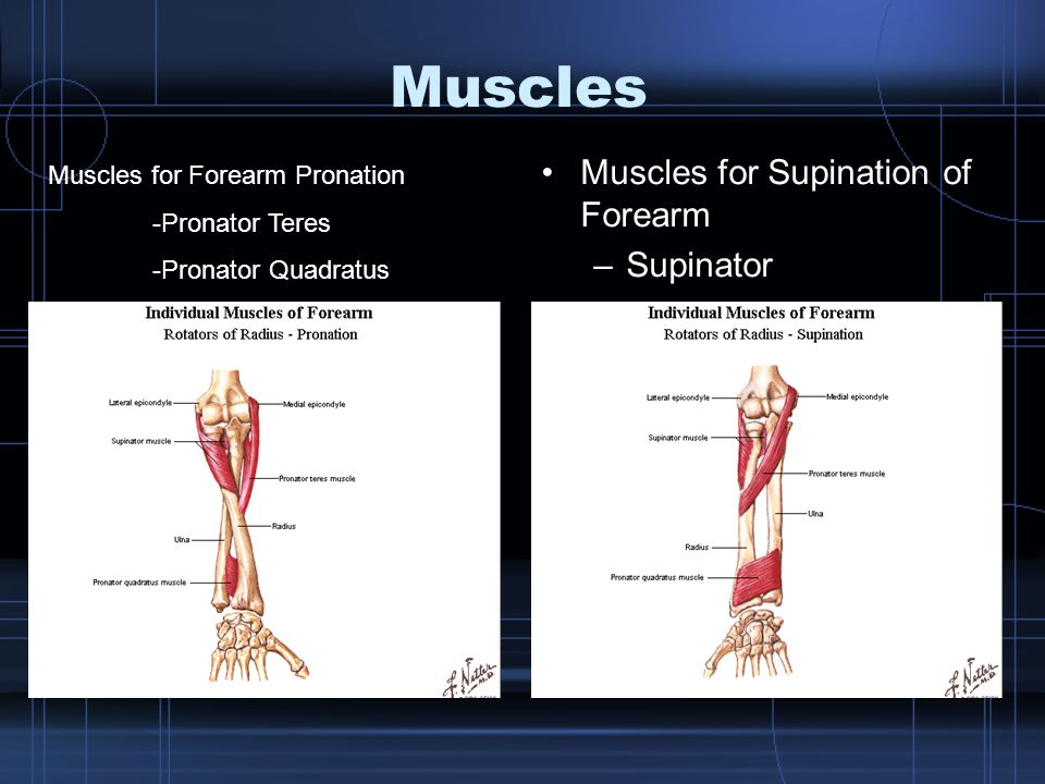 Muscles Muscles for Supination of Forearm Supinator