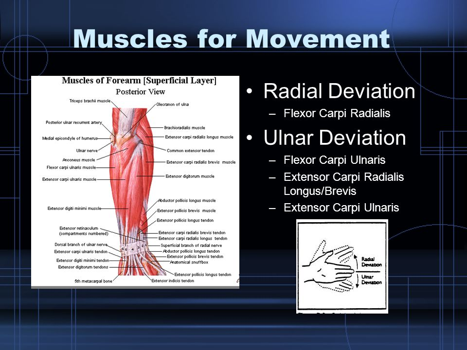 Muscles for Movement Radial Deviation Ulnar Deviation