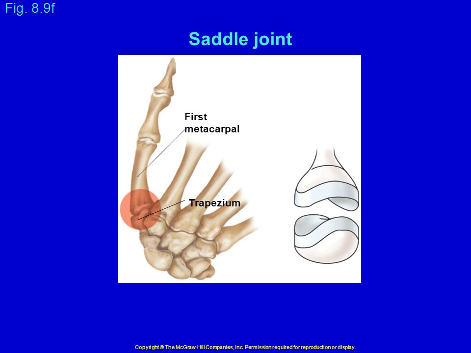 Saddle joint Fig. 8.9f First metacarpal Trapezium