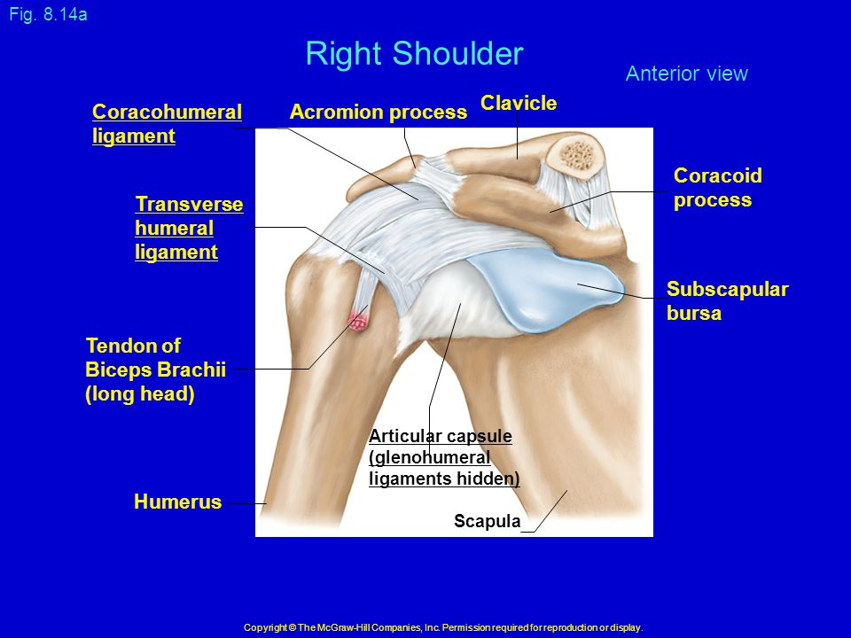 Right Shoulder Anterior view Clavicle Coracohumeral ligament