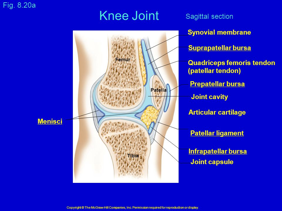 Knee Joint Fig. 8.20a Sagittal section Synovial membrane