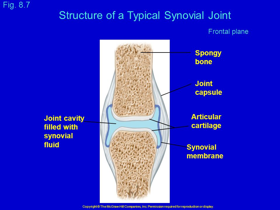Structure of a Typical Synovial Joint