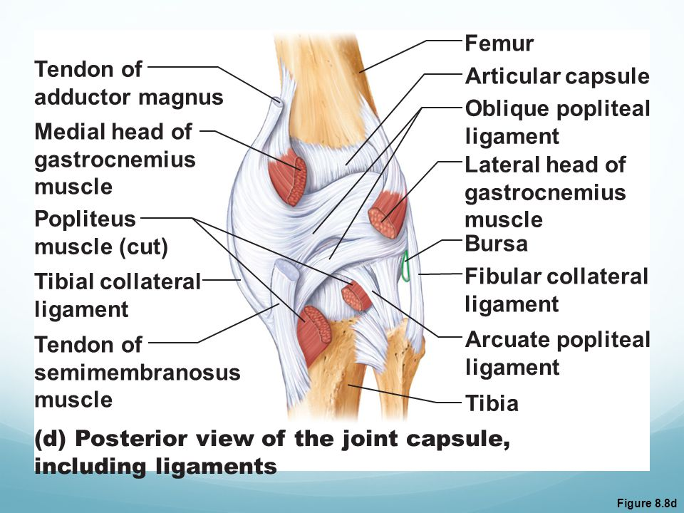 (d) Posterior view of the joint capsule, including ligaments
