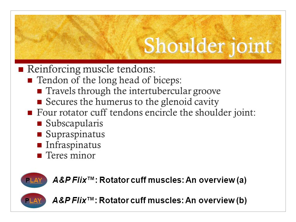 Shoulder joint Reinforcing muscle tendons: