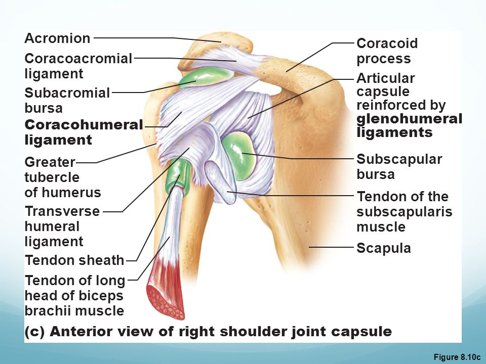 (c) Anterior view of right shoulder joint capsule