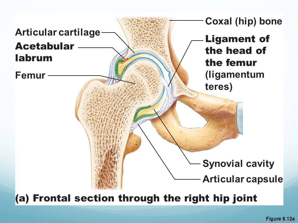 (a) Frontal section through the right hip joint