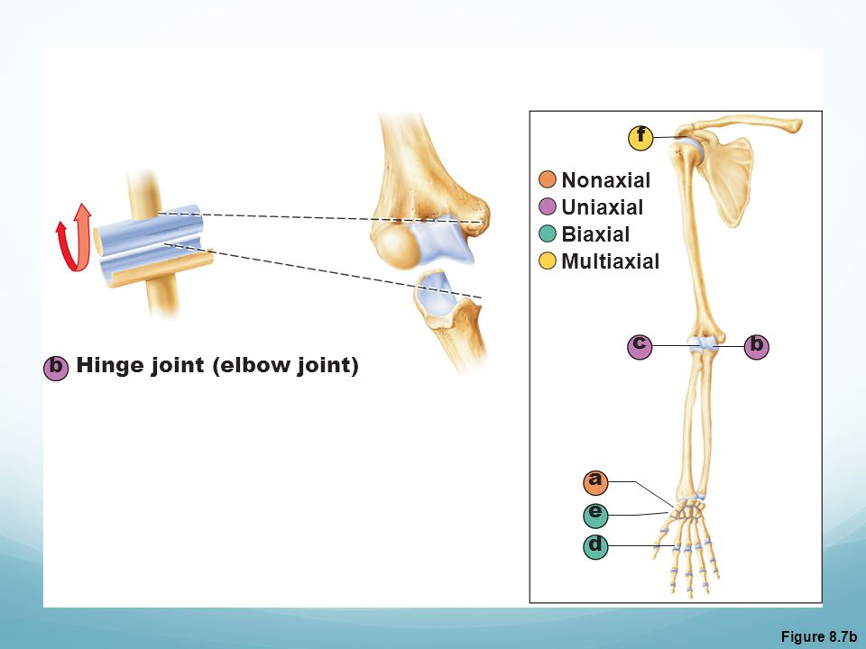 Hinge joint (elbow joint)