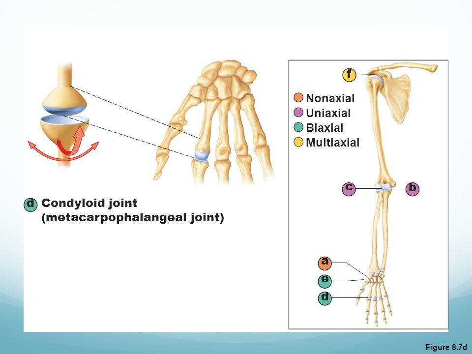 (metacarpophalangeal joint)