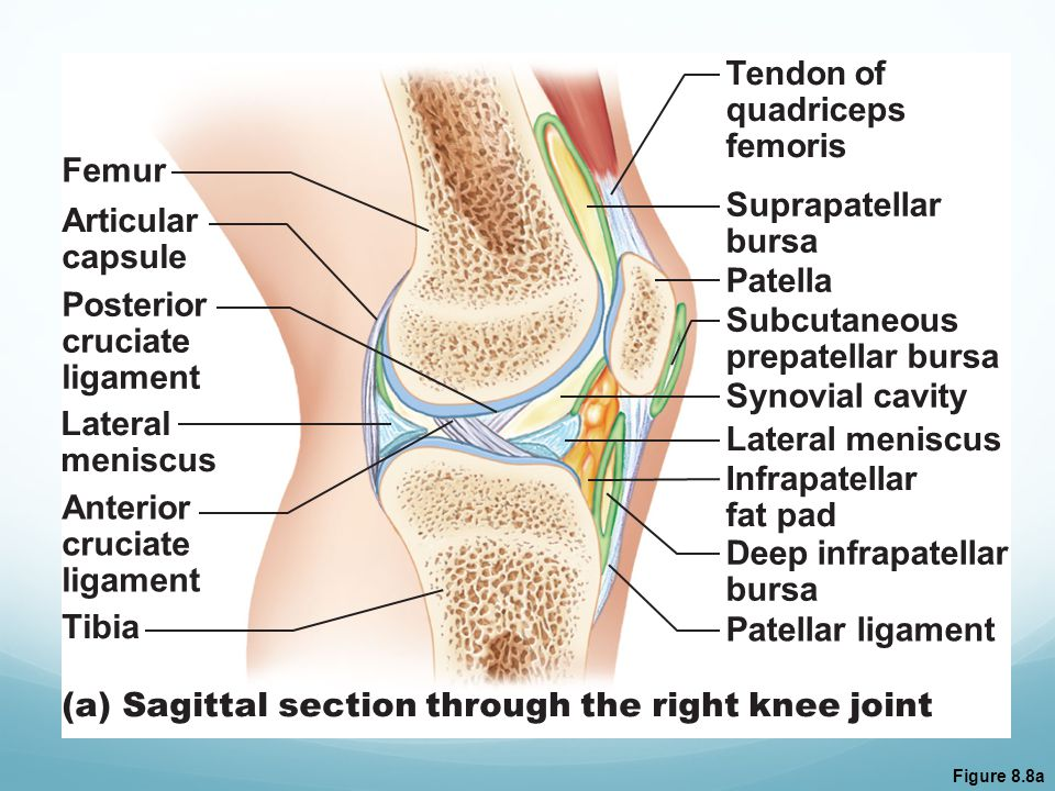 (a) Sagittal section through the right knee joint
