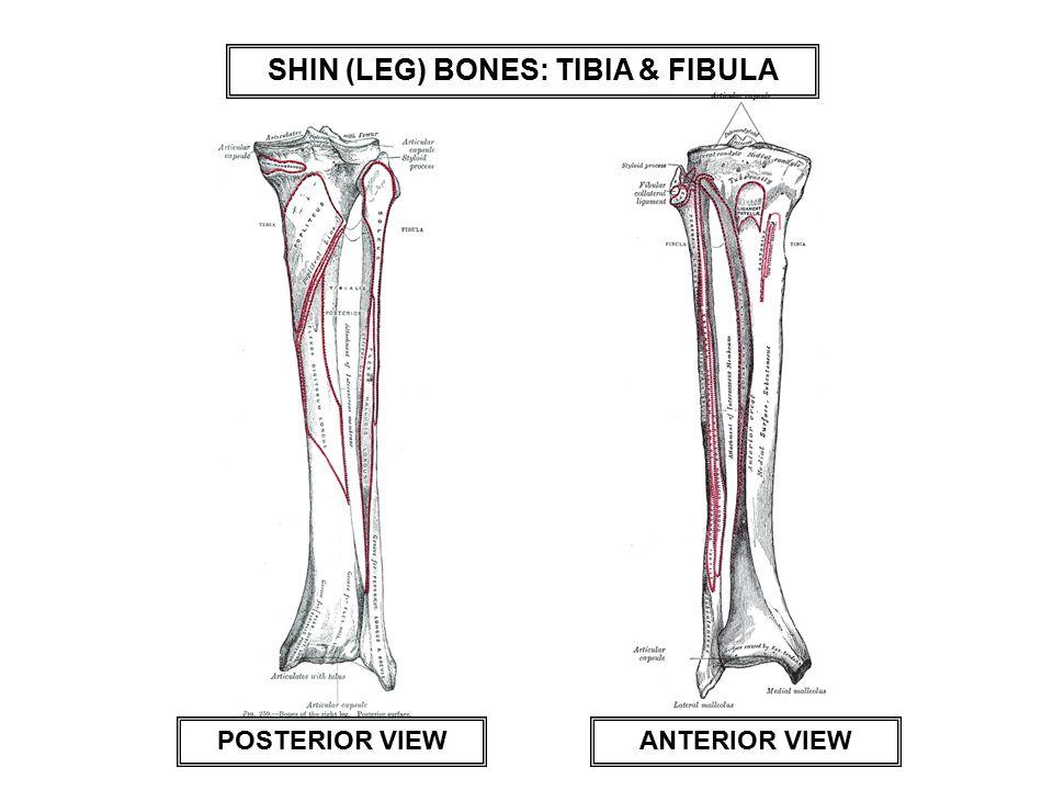 SHIN (LEG) BONES: TIBIA & FIBULA