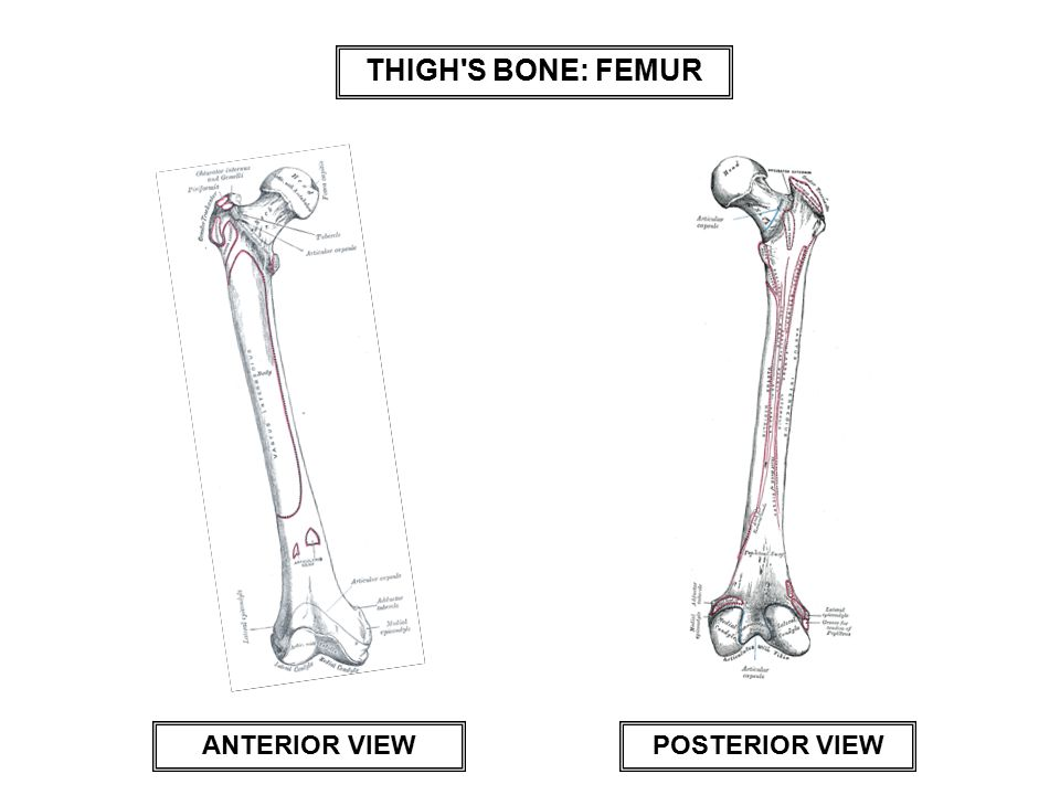 THIGH S BONE: FEMUR POSTERIOR VIEW ANTERIOR VIEW