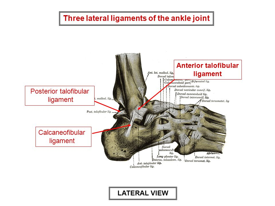 Three lateral ligaments of the ankle joint