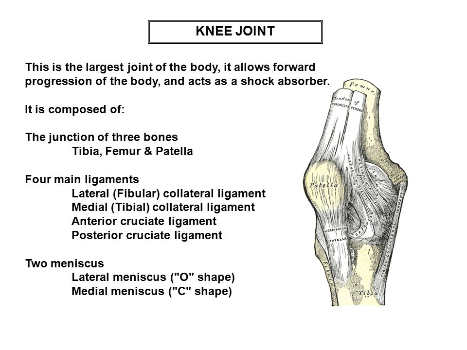 KNEE JOINT This is the largest joint of the body, it allows forward progression of the body, and acts as a shock absorber.