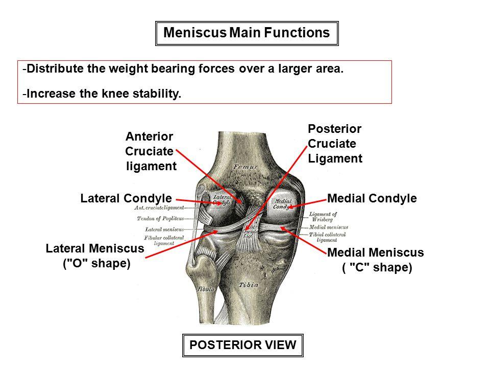 Meniscus Main Functions