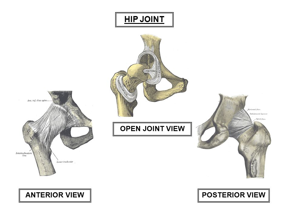 HIP JOINT OPEN JOINT VIEW ANTERIOR VIEW POSTERIOR VIEW