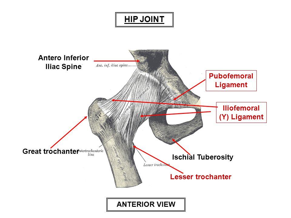 HIP JOINT Antero Inferior Iliac Spine Pubofemoral Ligament Iliofemoral