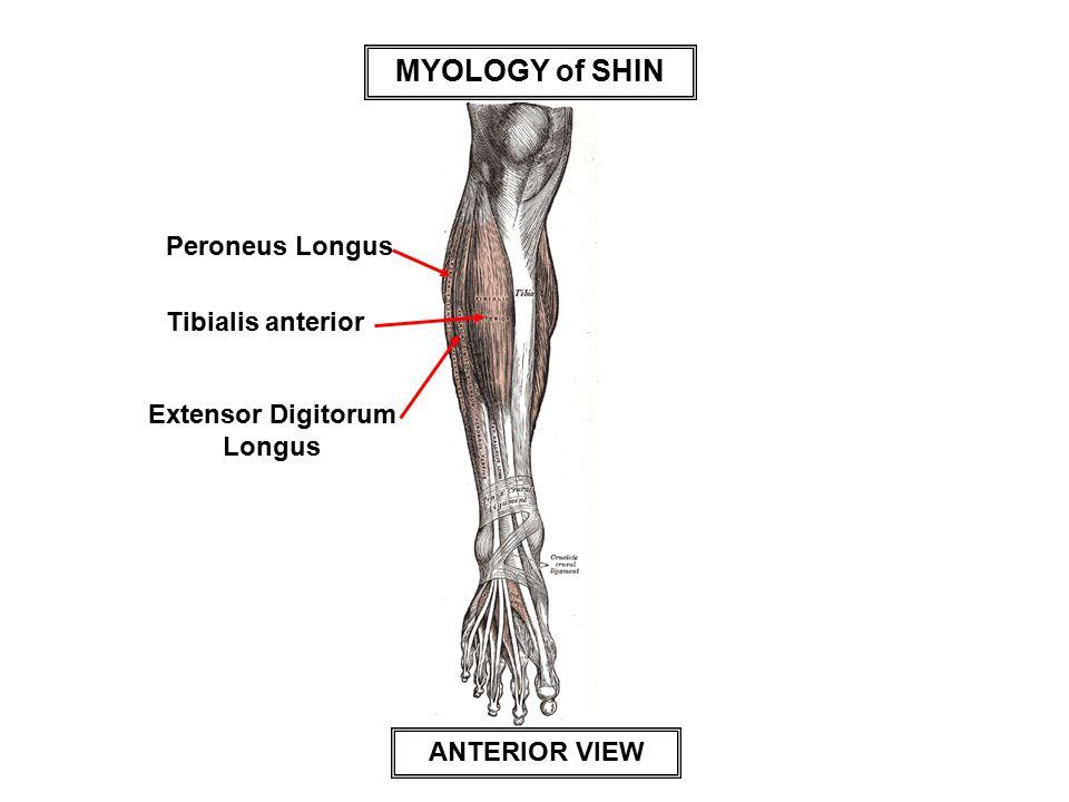 MYOLOGY of SHIN Peroneus Longus Tibialis anterior Extensor Digitorum