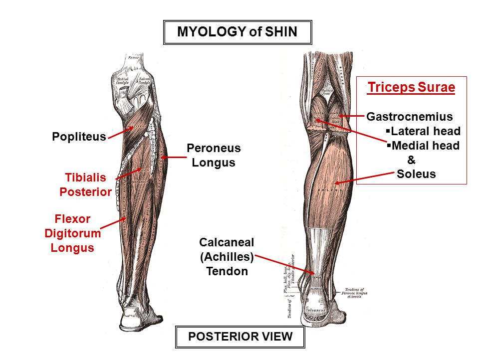 Peroneus Longus Tendon Anatomy 5144674 Follow4morefo