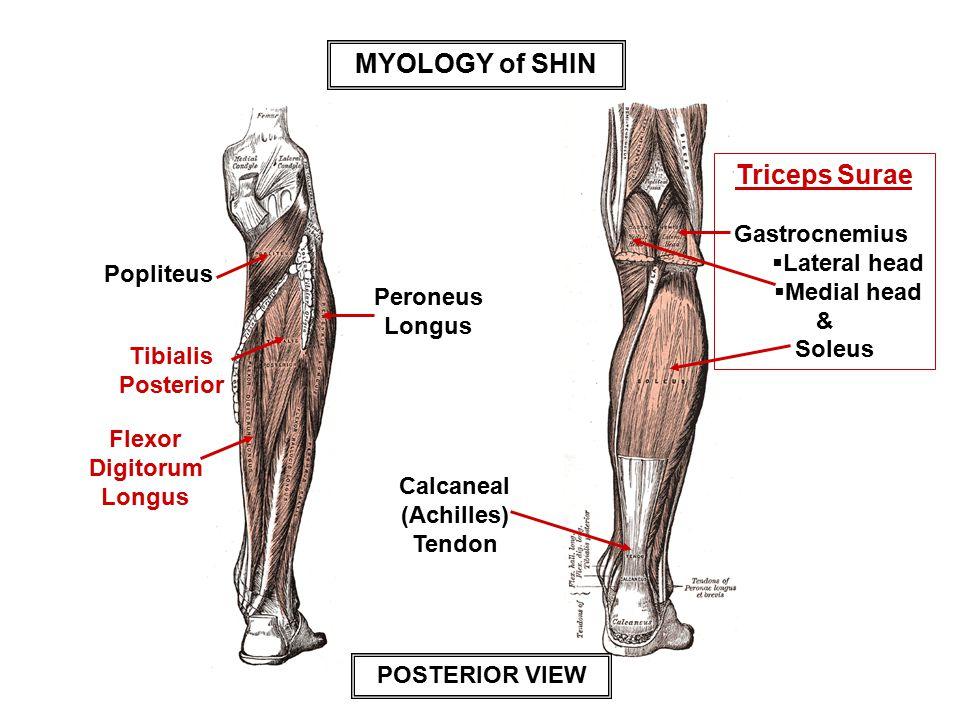 MYOLOGY of SHIN Triceps Surae
