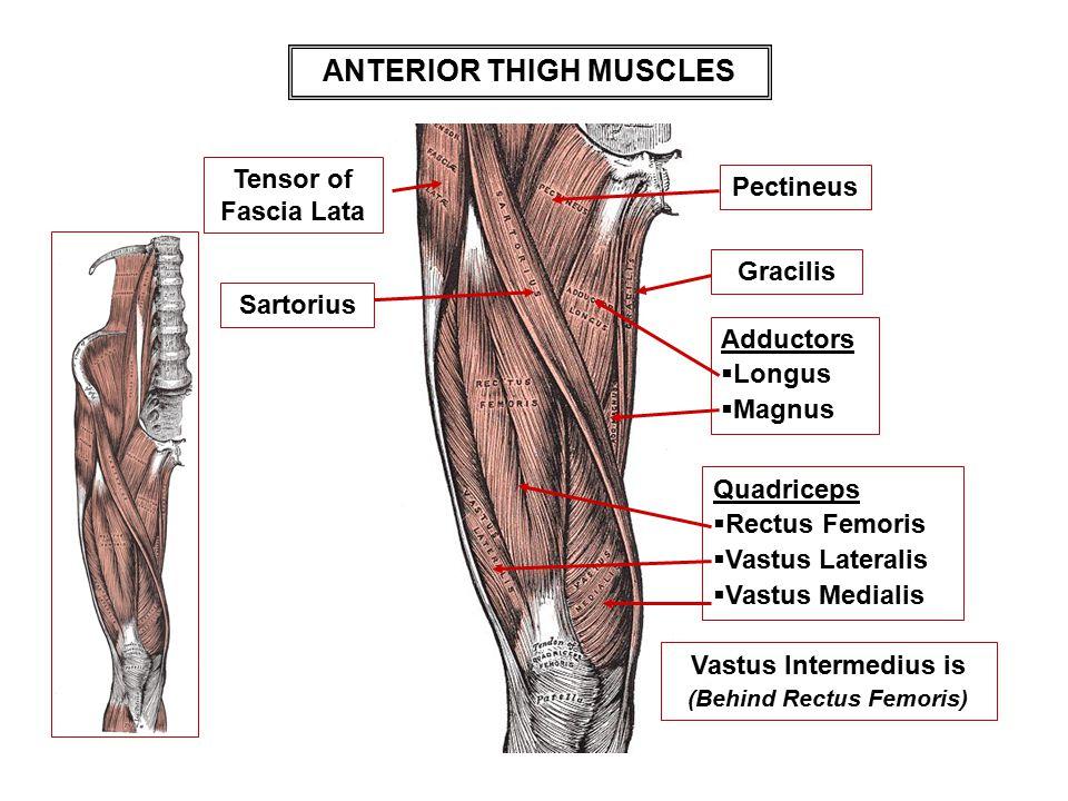 ANTERIOR THIGH MUSCLES Vastus Intermedius is (Behind Rectus Femoris)