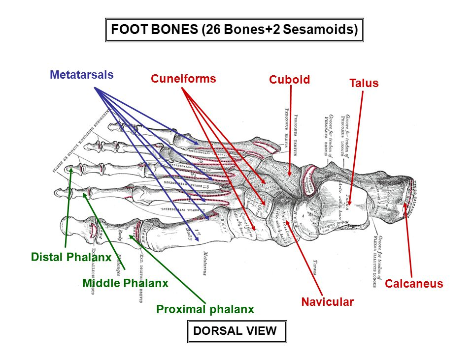 FOOT BONES (26 Bones+2 Sesamoids)