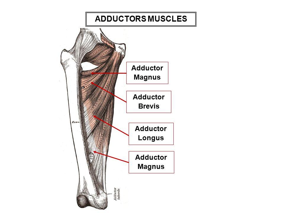 ADDUCTORS MUSCLES AdductorMagnus Adductor Brevis Adductor Longus