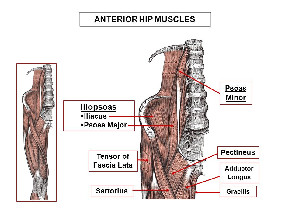 ANTERIOR HIP MUSCLES Iliopsoas