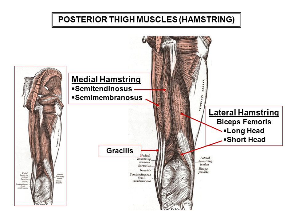 Posterior thigh muscle anatomy