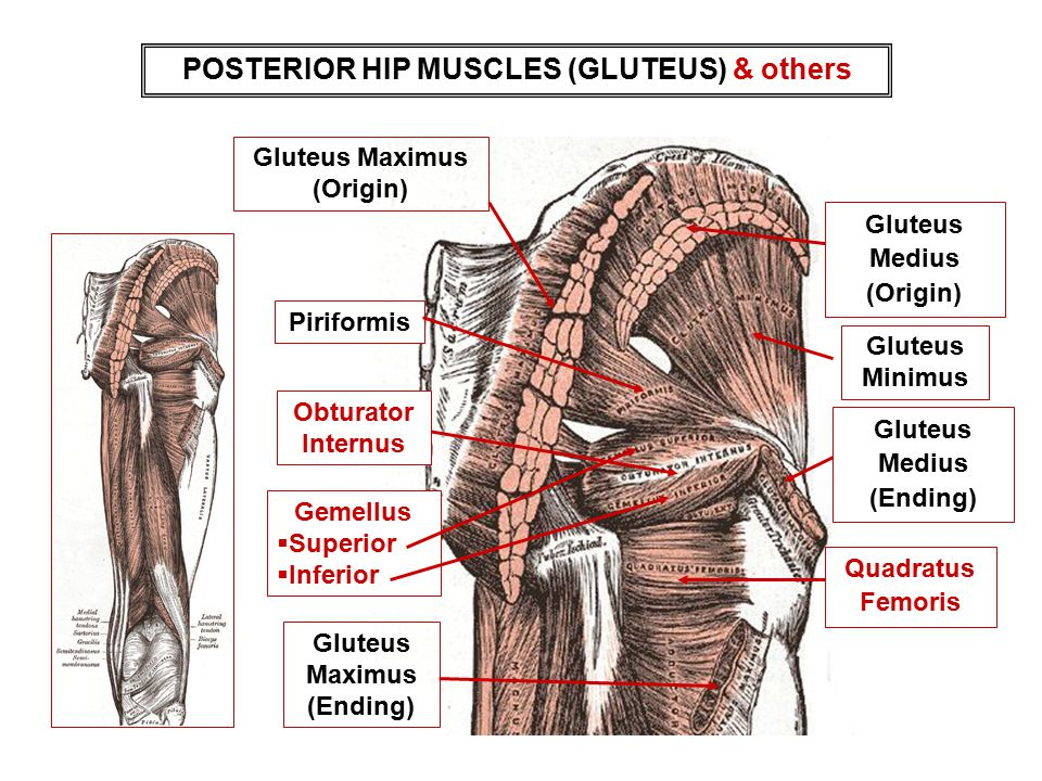 POSTERIOR HIP MUSCLES (GLUTEUS) & others