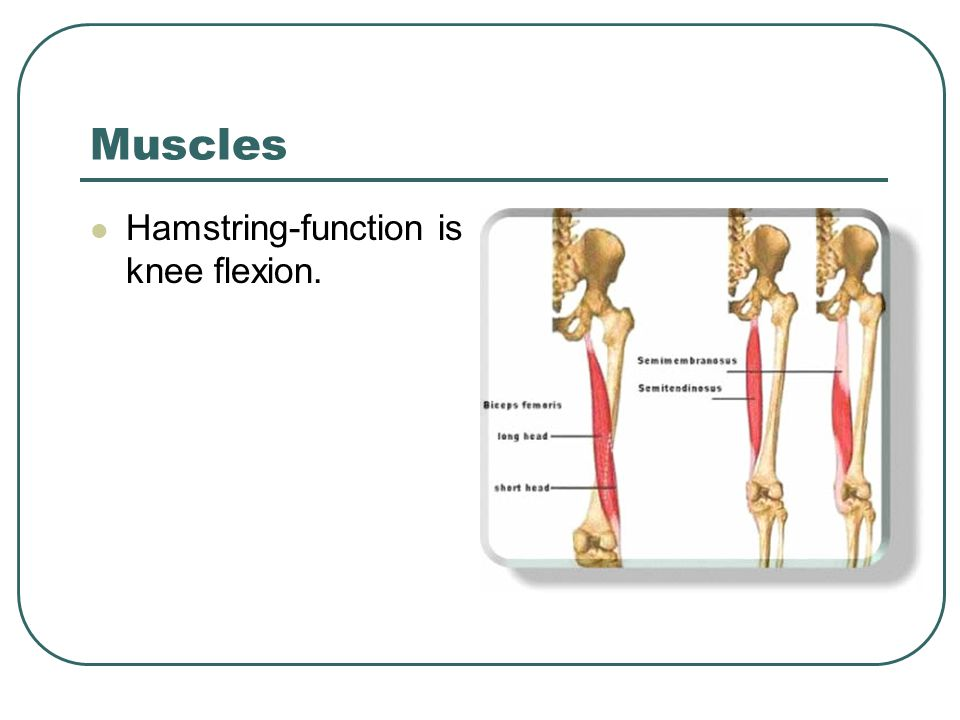 Muscles Hamstring-function is knee flexion.