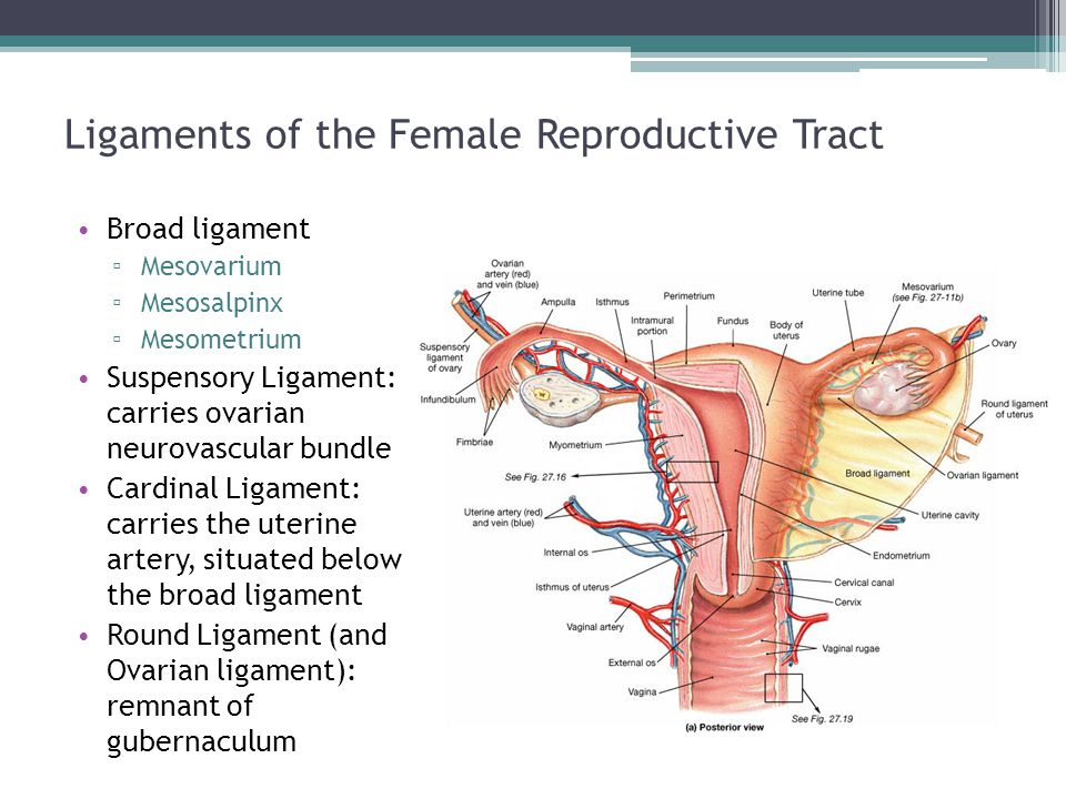 Ligaments of the Female Reproductive Tract