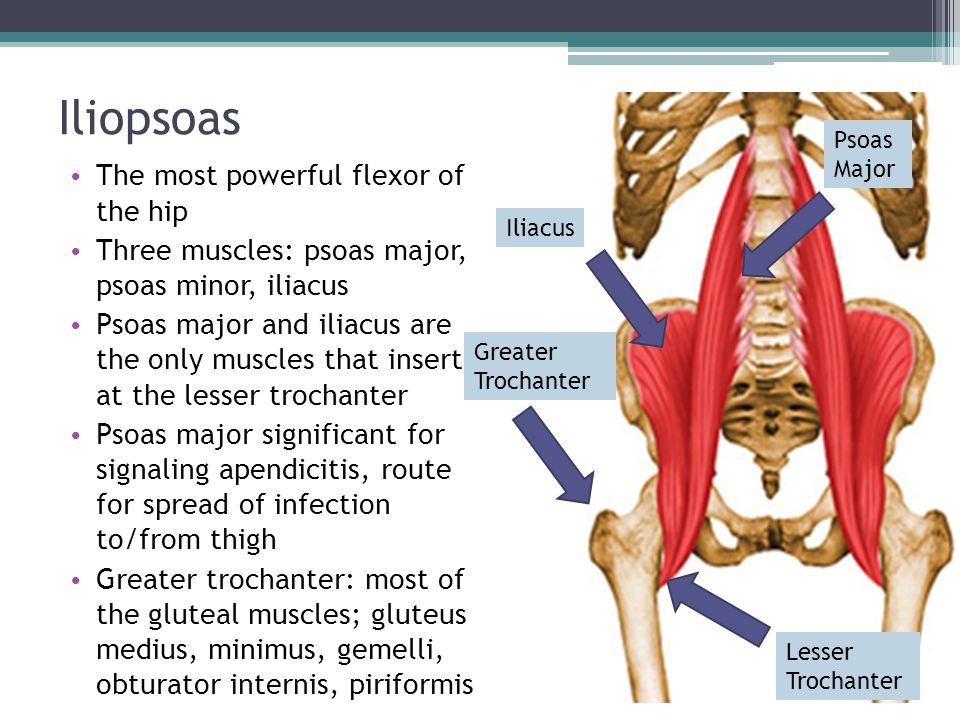 Iliopsoas The most powerful flexor of the hip