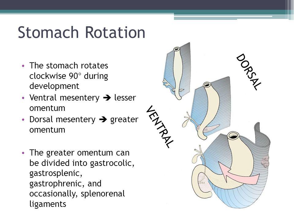 Stomach Rotation DORSAL VENTRAL
