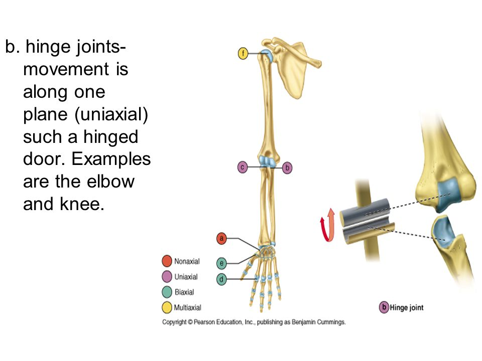 b. hinge joints- movement is along one plane (uniaxial) such a hinged door.