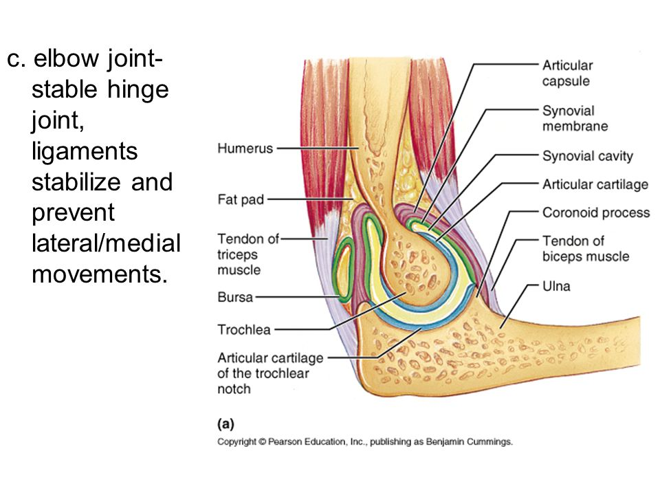 c. elbow joint- stable hinge joint, ligaments stabilize and prevent lateral/medial movements.