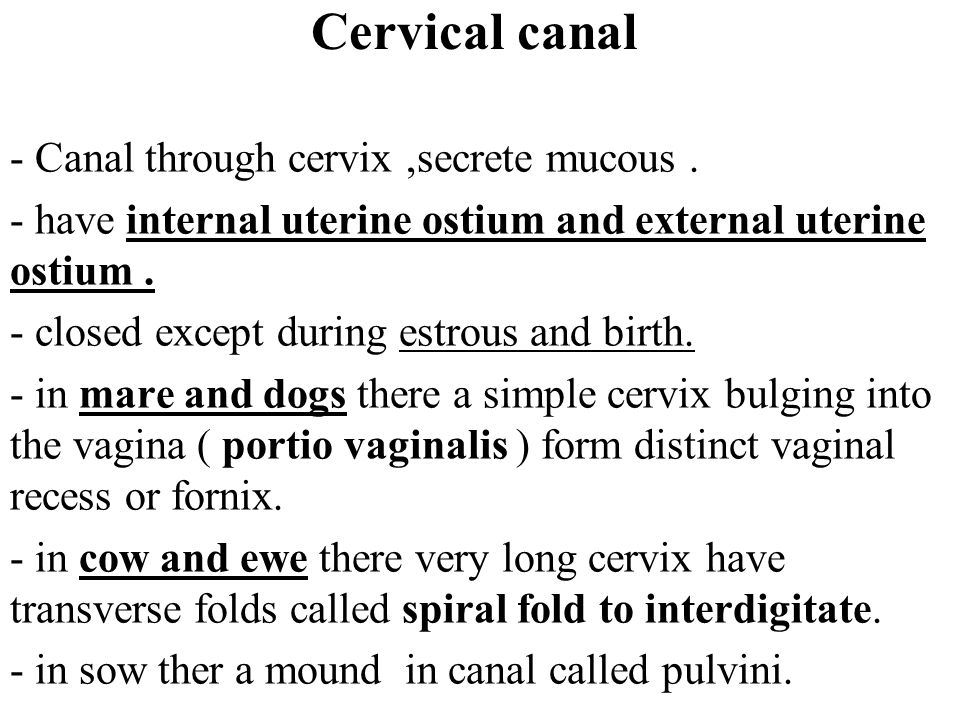 Cervical canal - Canal through cervix ,secrete mucous .