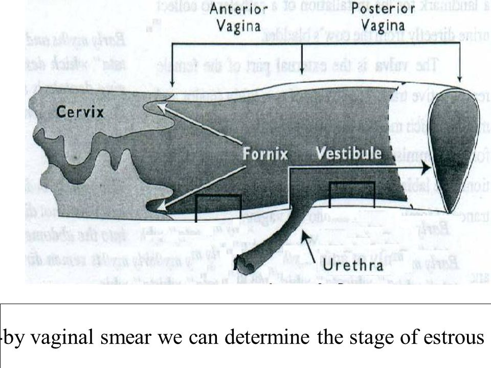 -by vaginal smear we can determine the stage of estrous .