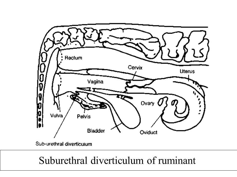 Suburethral diverticulum of ruminant