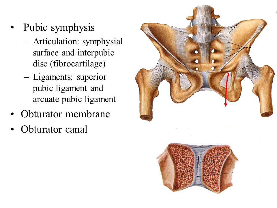 Pubic symphysis Obturator membrane Obturator canal