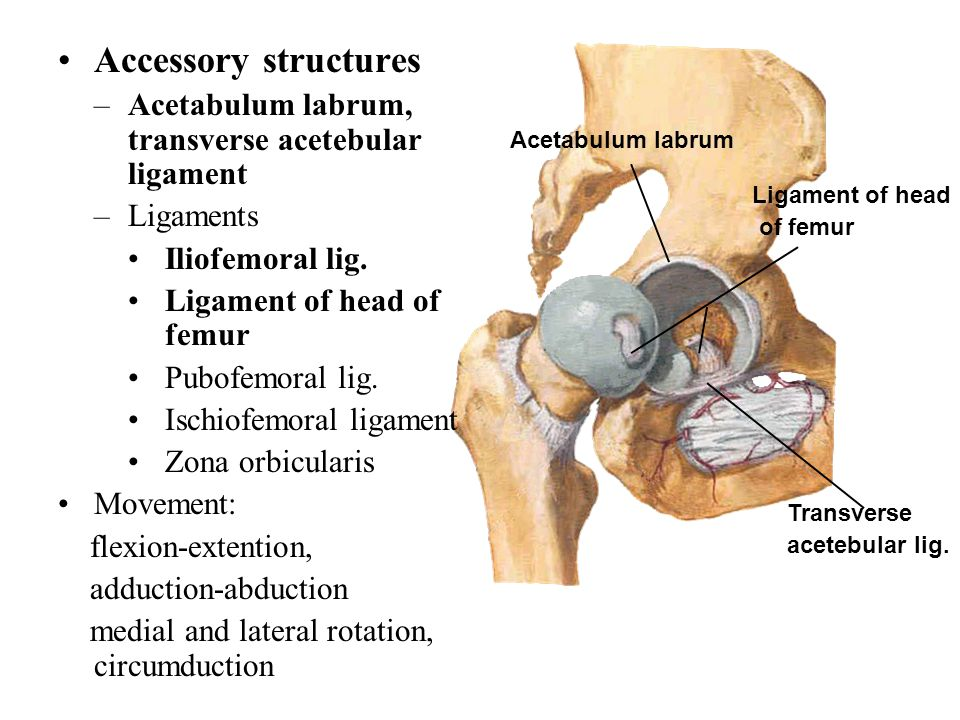 Accessory structures Acetabulum labrum, transverse acetebular ligament