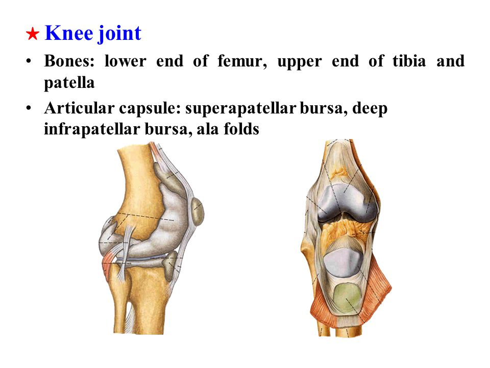★ Knee joint Bones: lower end of femur, upper end of tibia and patella.