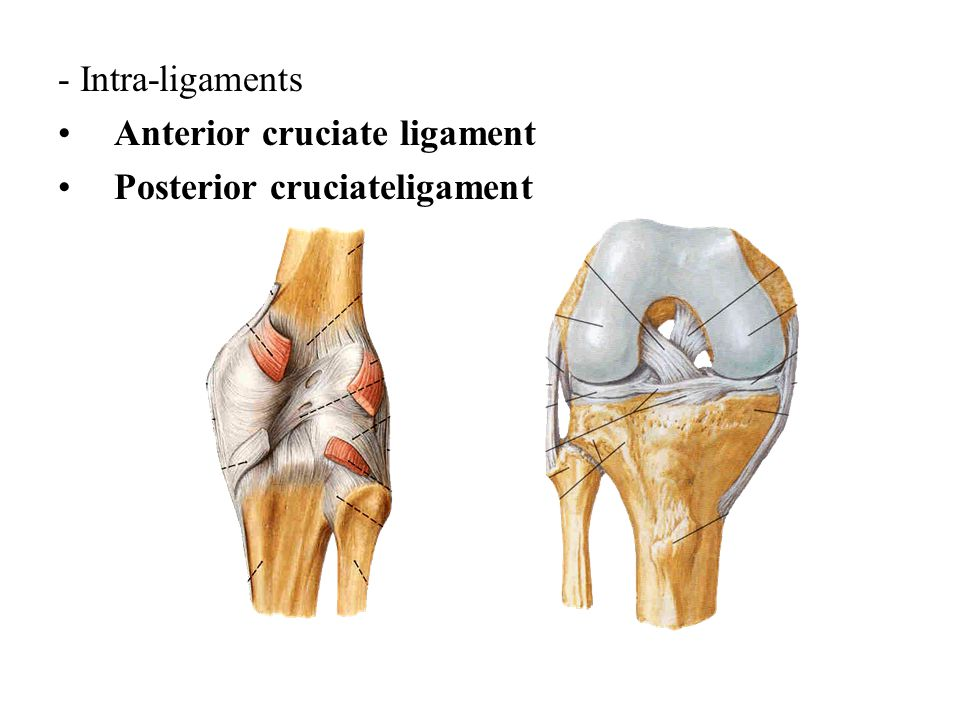 Anterior and posterior cruciate ligament