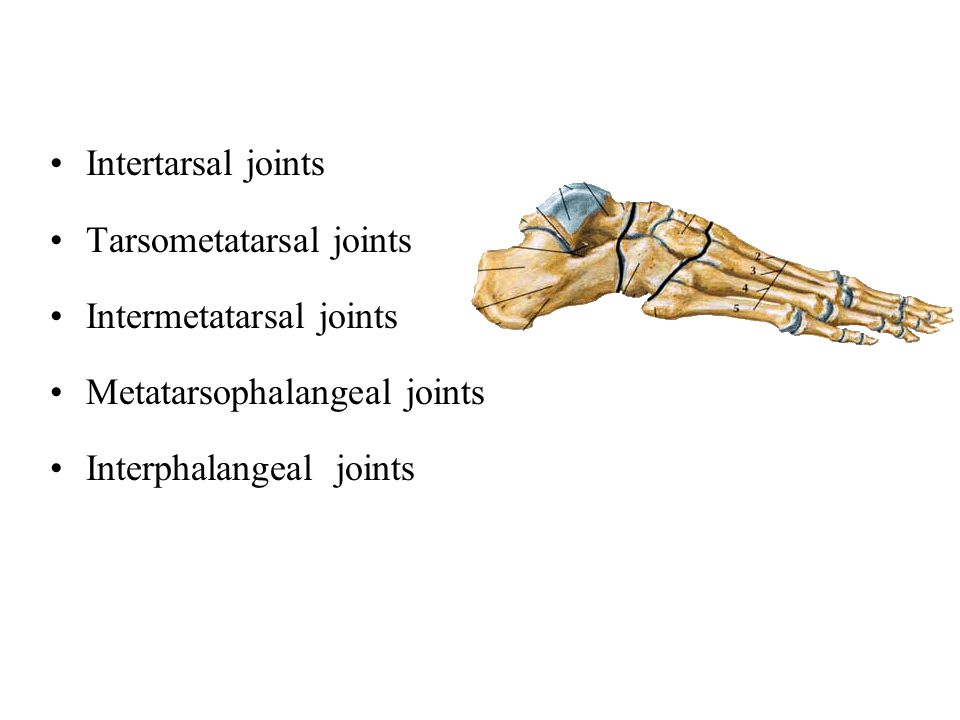 Intertarsal joints Tarsometatarsal joints. Intermetatarsal joints.