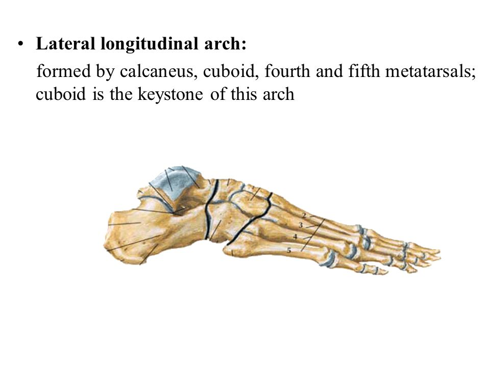 Lateral longitudinal arch: