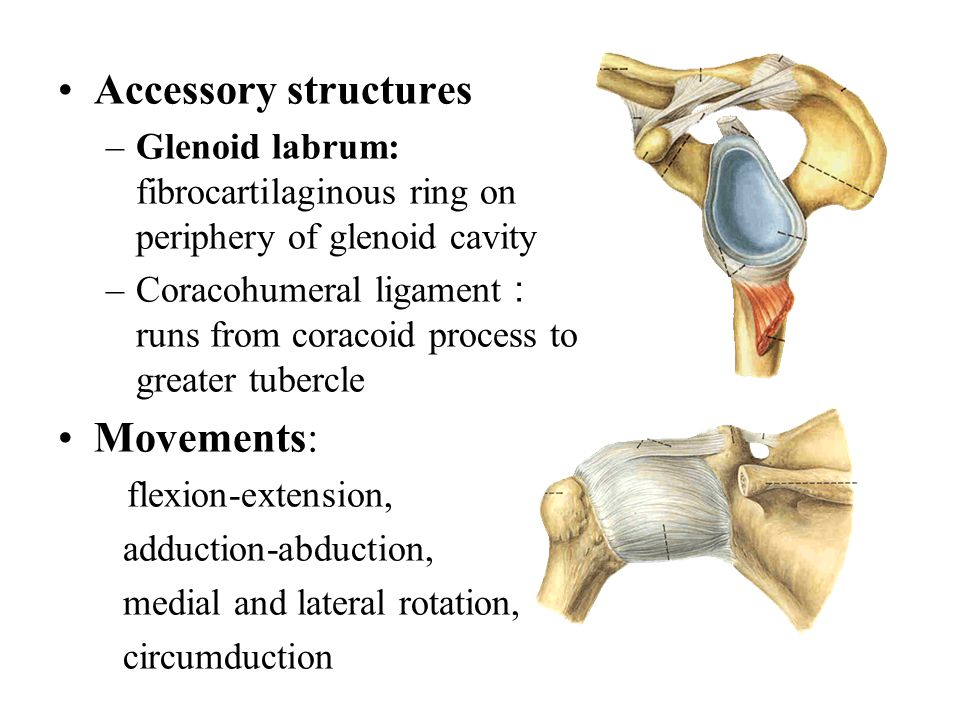 Accessory structures Movements: