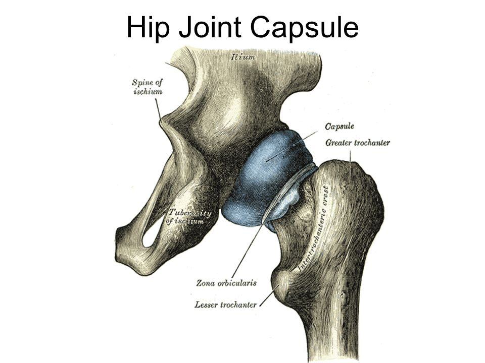 Hip Joint Capsule