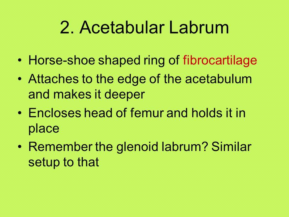 2. Acetabular Labrum Horse-shoe shaped ring of fibrocartilage